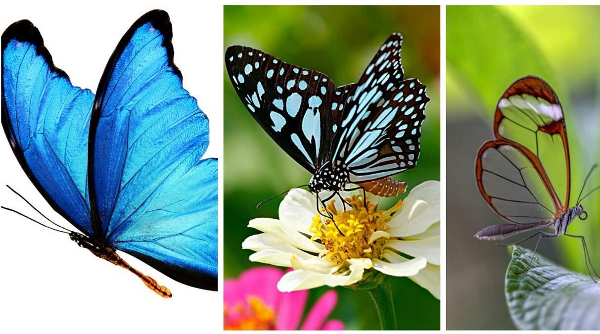 Frumuseti cu aripi rare: Top 13 cei mai frumosi fluturi ai lumii