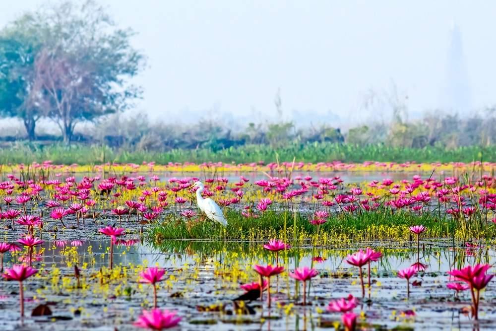 Marea Roz Thailanda