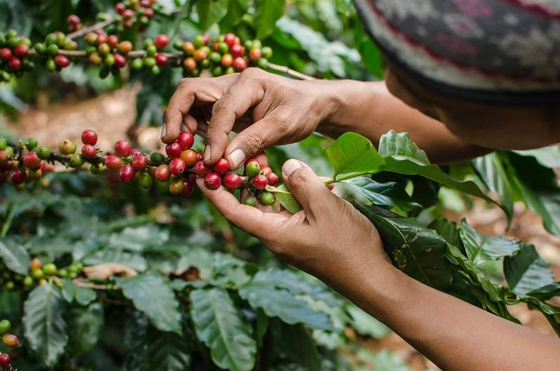 cultivare cafea