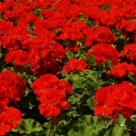 Top 5 plante cu flori intens colorate