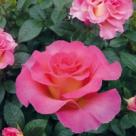 Cum sa ai cei mai frumosi trandafiri in gradina ?