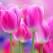 Lalelele - florile inimii. Descoperiti istoria si povestea celor mai indragite flori de pe planeta!