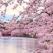 Sakura, spectacolul cireșilor înfloriți din Japonia: Imagini desprinse parcă din Rai