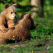 Ursul brun și culoarea sălbăticiei