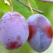 Prunele –beneficii pentru sanatate