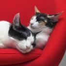 Nume straine pentru pisici si motanei