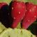 Beneficii pentru sanatate: Fructul de cactus sau MEDICAMENTUL cu tepi