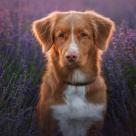 Bucurie în lanul de lavandă: Fotografii absolut minunate cu cei mai frumoși câini printre florile de levănțică