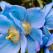 Ați mai văzut vreodată maci albaștri? Macul albastru de Himalaya este de o frumusețe ireală