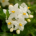 Iasomia, secretul floral al sanatatii