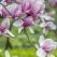 Au inflorit magnoliile peste Bucuresti