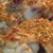 Aripi de pui caramelizate cu miere si seminte de susan