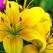 Povestea Crinilor, florile imperiale și magnifice ale verii