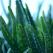 Aloe vera: 11 Beneficii uimitoare pentru sanatate