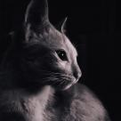 50 de curiozitati despre pisici
