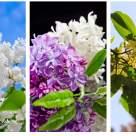 Liliacul - muza poeziei. Cele mai frumoase imagini și versuri cu parfum de flori de liliac