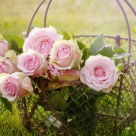 15 curiozitati despre trandafiri