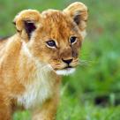 Joseph Murphy: Povestea unui leu crescut de o oaie