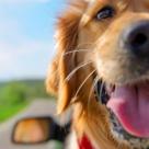 PETA roaga toti detinatorii de animale sa NU isi lase niciodata cainii singuri in automobile
