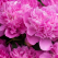 Bujorii - cele mai frumoase flori. Despre Paeonia, cu dragoste!