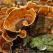 Ciuperca Coada de curcan – Un medicament natural EXTRAORDINAR!