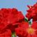 Trandafirul salbatic si secretul pielii fine si catifelate