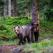 Apel internațional pentru salvarea urșilor bruni din România