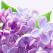 ON LiNE te alinta cu doua noi arome: sapun lichid cu liliac si sapun lichid cu masline