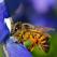 Alerta ecologica: Disparitia albinelor
