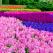 Primăvara în parcul Keukenhof, grădina cu flori a Europei: Bine ați venit în paradisul florilor și al lalelelor!