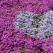 DECLARAȚIE DE DRAGOSTE: Un bărbat a plantat un câmp de flori frumos parfumate pentru soția care și-a pierdut vederea