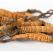 Ciuperca Tibetană (Cordyceps Sinensis): o MINUNE pentru sănătate