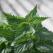 Urzica, o planta medicinala exceptionala