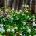 Loc de poveste în România la început de primăvară: mii de ghiocei înfloriți pe aproape 10 hectare