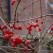 Fructele de merisor, fructele cu proprietati curative imbatabile