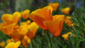 Macul californian (Eschscholzia californica)
