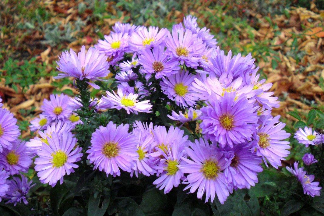 Crizantemele - iubitele toamnei