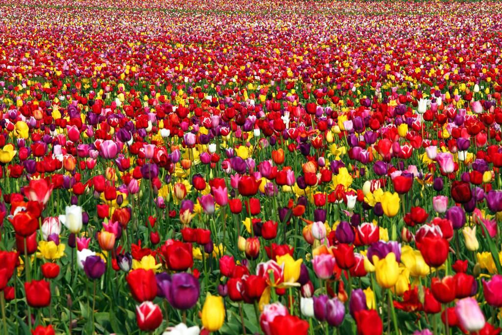 Lalele in Oregon, Statele Unite ale Americii
