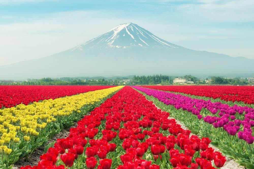 Lalele in Japonia
