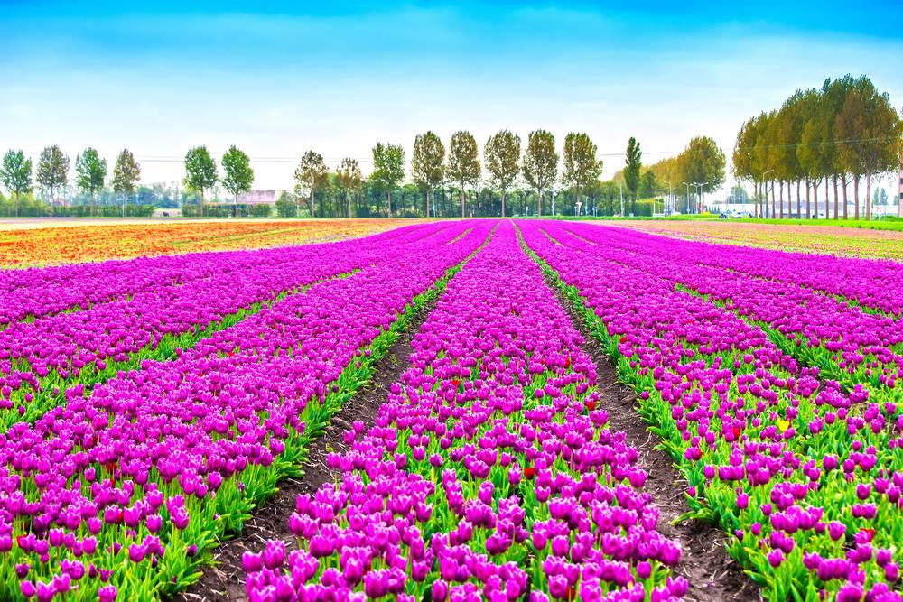 Lalele in Olanda